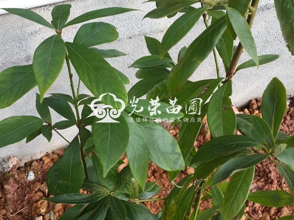 园林用途:金丝楠木四季常绿,色泽翠绿,附有光性,叶子短小而又有规则
